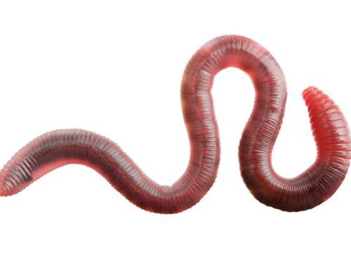 Tilburg heeft er 15.000 wormen bij